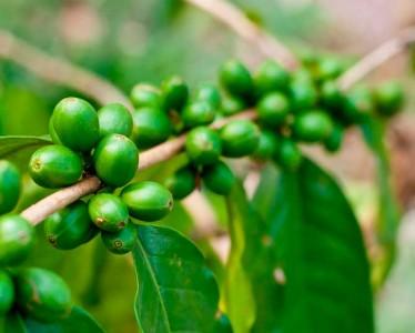 green-coffe