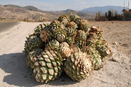 Oaxaca Агава для мескаля