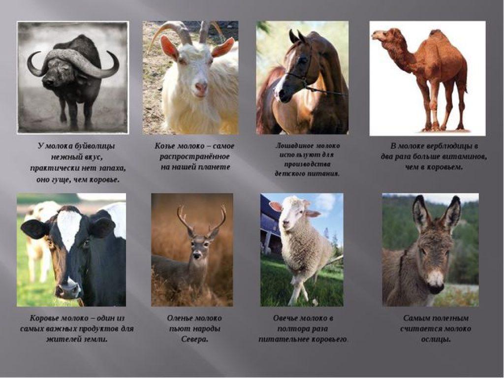 молоко животных
