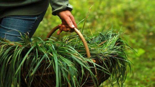 Зубровканастойка на траве