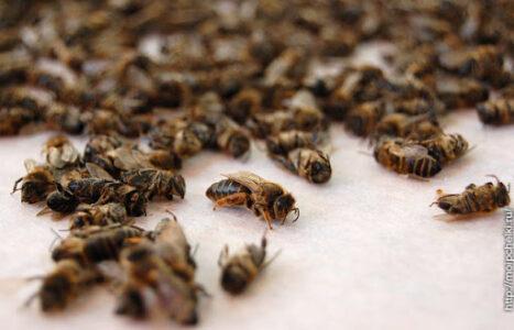 Настойка подмора пчелиная.
