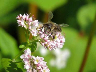Гречишный мед - от чего помогает?