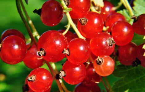 Смородина - свойства, применение, сорта смородины