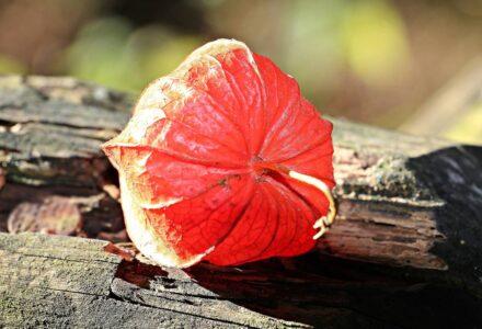 Мечунка- что это за фрукт? Каковы его преимущества для питания и здоровья?