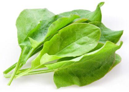 Щавель - свойства, полезные вещества, применение, рецепты