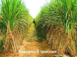 Тростниковый сахар - свойства и применение