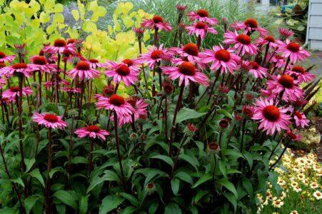 Эхинацея пурпурная - свойства, применение, противопоказания