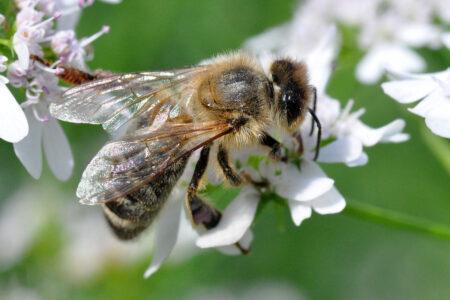 Пчелиный яд - свойства и применение в медицине