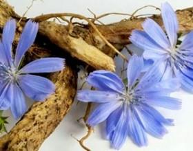 cikoriy корень и цветок