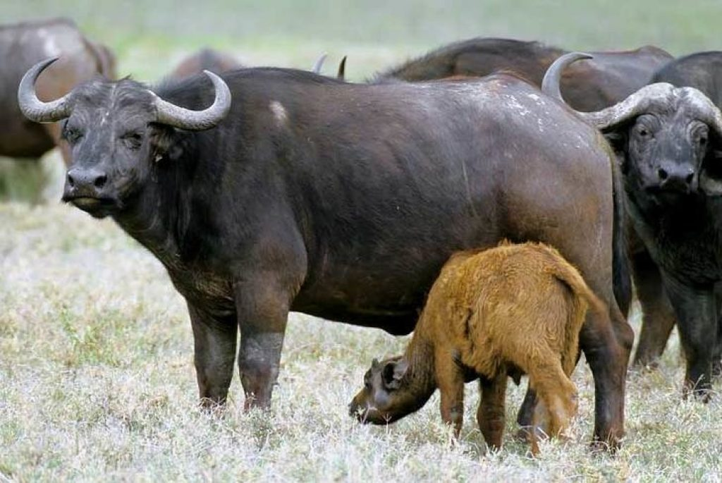 молоко буйволов
