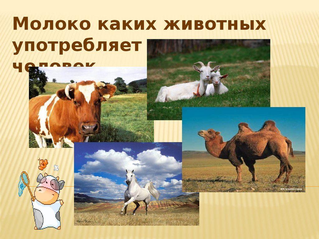 животные и молоко