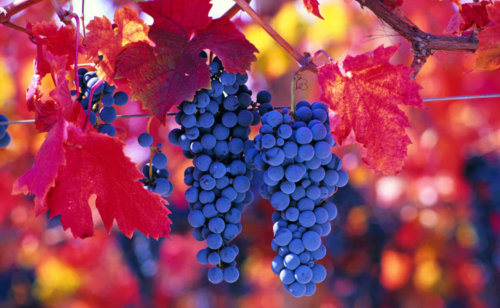 Chilean red grapes