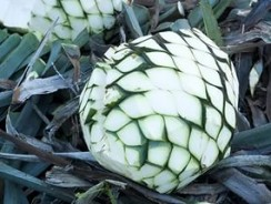 Текила из агавы